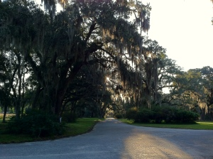Mepkin Oak with Spanish moss