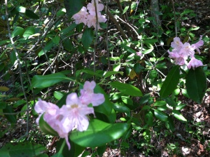 Pinkshell Azaleas